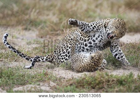 Female Leopard Slaps Male While Mating On Short Grass In Nature