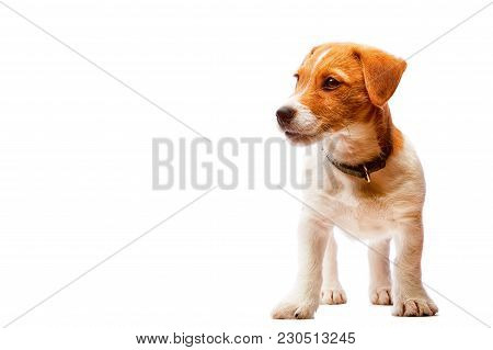 Small Cute Serious Jack Russel Terrier Puppy Wearing Leahter Dog Collar Isolated On White Background