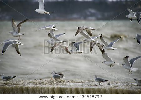 Seagulls Hovering And Flying Above Wooden Bridge Covered With Ice At A Strong Winter Eastern Storm I