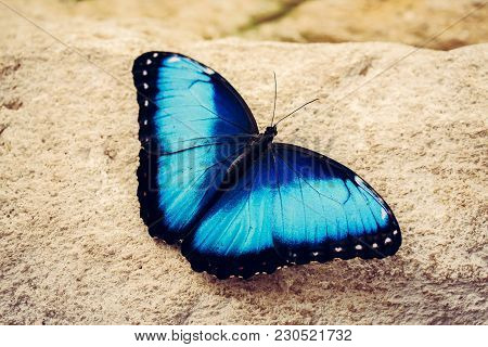 Blue Butterfly With Open Wings Close-up. Insects And Nature. The Intense Blue Of The Butterfly Wings