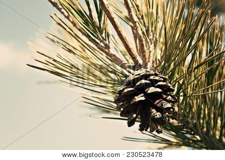 A Detail Of A Conifer Tree Branch