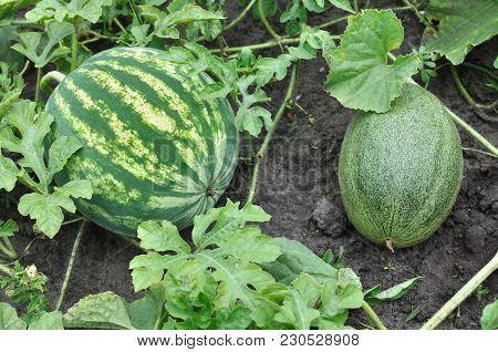 Close-up Of The Ripening Watermelon And Melon In The Vegetable Garden