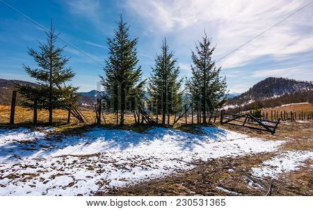 Four Spruce Trees Near The Fence In Mountains. Beautiful Springtime Scenery With Melting Snow On Wea
