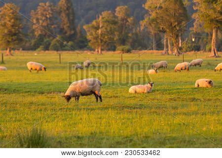 Farm Sheep Over Green Glass, New Zealand Farming Animal