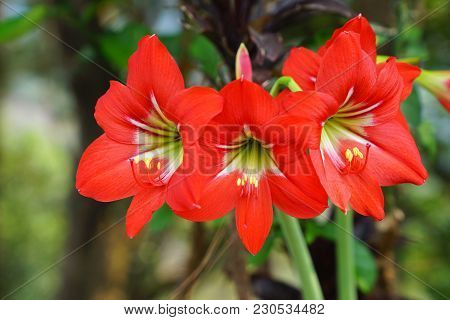 Blooming Red Amaryllis Or Hippeastrum Flowers In Garden