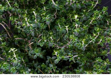 Fresh Growing Citrus Thyme Background From Above