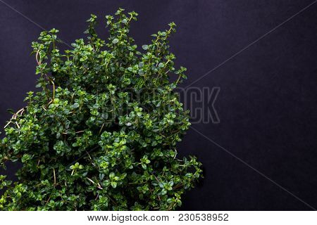 Fresh Growing Citrus Thyme On Dark Background With Free Space