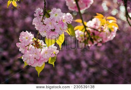 Gorgeous Sakura Flowers On A Purple Background. Lovely Springtime Scenery In The Park