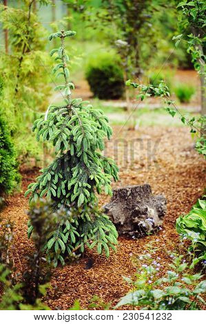Picea (spruce) Glauca Pendula Conifer With Fresh Buds In Spring. Rare Weeping Conifer For Garden Col