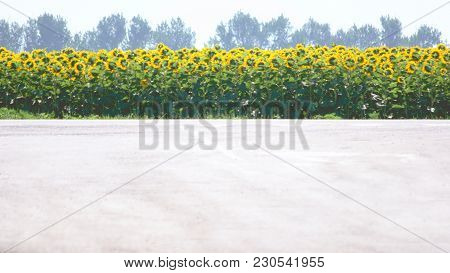 Field Of Sunflower On The Background. Sunflower Field With Blue Sky. Photo With Copy Space Area For