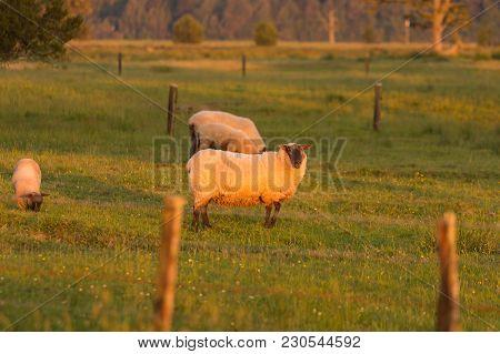 Farm Sheep On Green Glass Farm Animal, New Zealand Natural Background