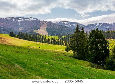 Spruce Forest On Grassy Hills In Mountains. Borzhava Mountain Ridge With Snowy Tops In The Distance