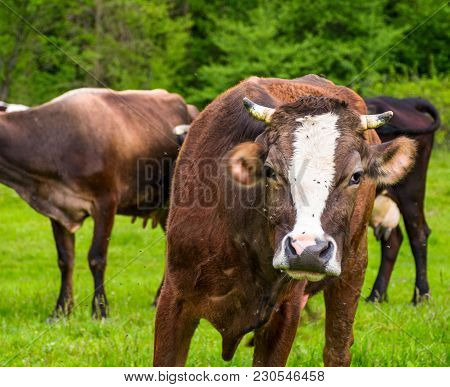 Portrait Of Curious Cow With Flies On The Face. Animal In Spring Green Environment