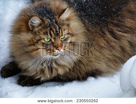 Big Fat Fluffy Snowy Mixed Breed Brown Gray Cat Sitting In The Snow Surroundings