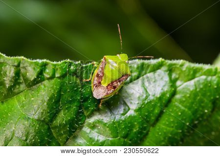Brownwinged Green Bug (plautia Crossota)
