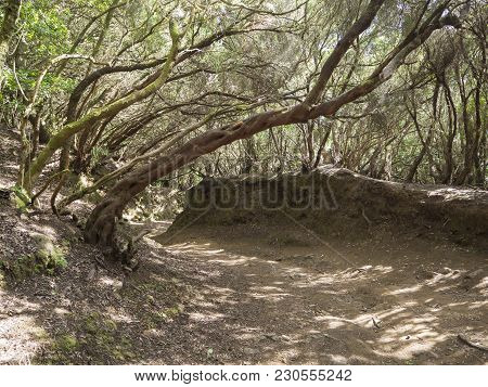 Narrow Footpath On Sendero De Los Sentidos Path Od The Senses In Mystery Primary Laurel Forest Lauri