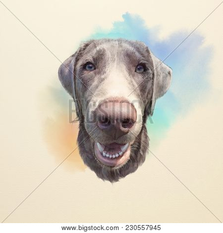 Vizsla Dog With Blue Eyes. Weimaraner Or Silver Ghost Is A Large Dog That Was Originally Bred For Hu