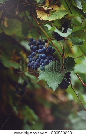 Branches Of Grapes Grow In The Fields. Close-up Of Fresh Red Wine Grapes In Italy. Vineyard With Lar