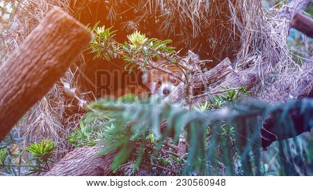 Red Panda Behind Green Trees In Tropic Jungle
