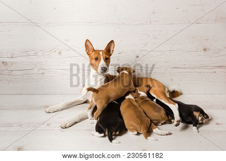 Five Small Pets In Hugs Of One Big Dog At Neutral Background. Mother Basenji Feed Her Puppies.