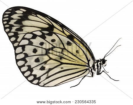 A Paper Kite Butterfly, Rice Paper Butterfly Or Large Tree Nymph, Idea Leuconoe, Isolated On White B
