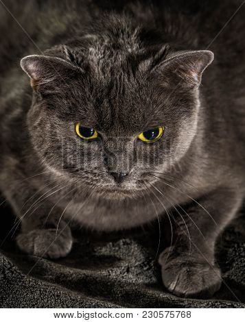 Beautiful Russian Blue Cat With Green Eyes Pose On The Dark Background