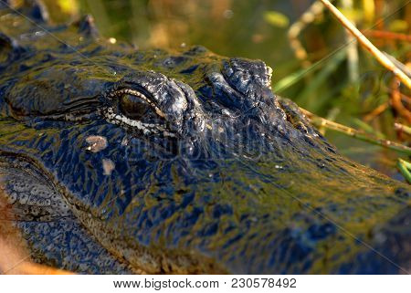 A Very Close Image Of A Large American Alligator From The Florida Everglades National Park.