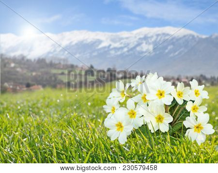 Primrose Or Primula Vulgaris Pale Yellow Flowers On The Spring Mountain Blurred Background