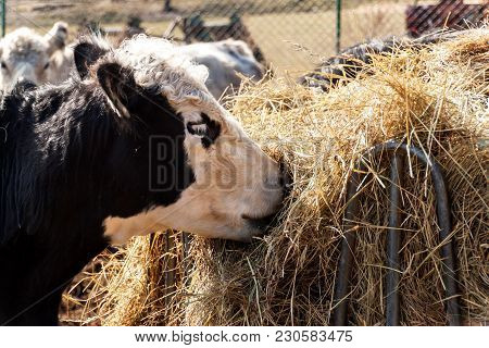 Cow Eats Hay. Livestock Farming On A Family Farm. Detail Of Head Of Cow. Organic Farming