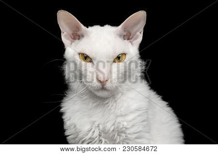 Portrait Of Narrow-eyed Sphynx Cat With White Fur Looking In Camera Isolated On Black Background