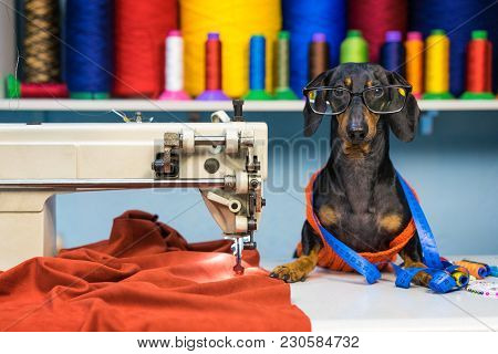 Adorable Dog Breed Of Dachshund, Black And Tan, In The Glasses, Seamstress Sitting And Sews On Sewin