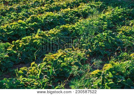 Vegetable Garden In Late Summer. Eco Friendly Gardening. Agricultural Industry On Field. Food Salad