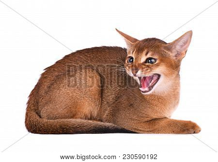 Purebred Abyssinian Young Cat Isolated On White Isolated On White Background. Angry Abyssinian Kitte