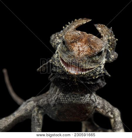 Close-up Frill-necked Lizard Attack, Also Known As The Frilled Lizard, Chlamydosaurus Kingii, On Iso