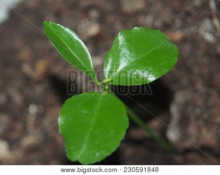 A Little Tangerine Tree Sprout. The Photo Shows A Stem And Several Leaves.