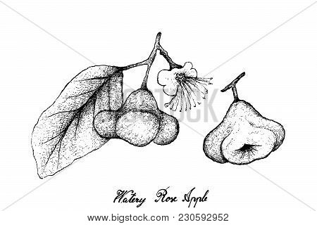 Tropical Fruits, Illustration Of Hand Drawn Sketch Watery Rose Apple, Bell Fruit, Water Apple Or Syz