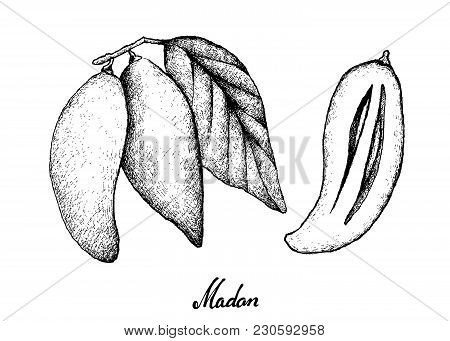 Tropical Fruits, Illustration Of Hand Drawn Sketch Madan Or Garcinia Schomburgkiana Pierre Fruits. A