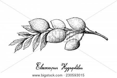 Tropical Fruit, Illustration Of Hand Drawn Sketch Of Fresh Elaeocarpus Hygrophilus Fruits Isolated O