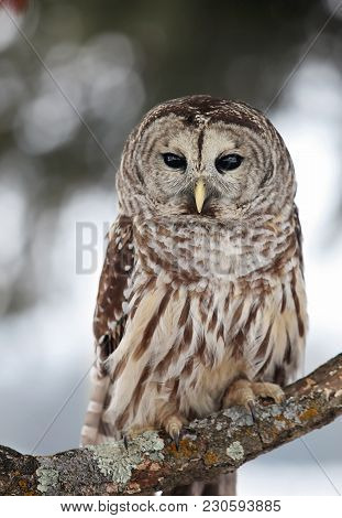 Close Up Image Of A Barred Owl Perched On A Tree Branch