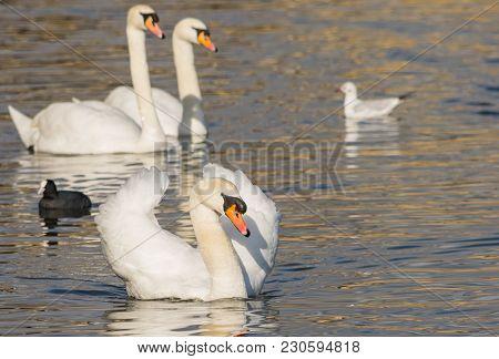 Mute Swan - Cygnus Olorin Swimming In Lake Water Water In Hyde Park, London