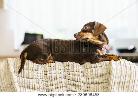Little Dachshund Purebreed Long Bodied Short Legged Small Dog Sitting Relaxing And Chilling On Sofa