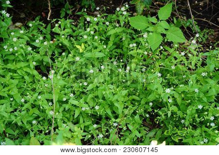 Common Chickweed (stellaria Media) Blooms As A Weed In A Flower Garden In Joliet, Illinois During Ju