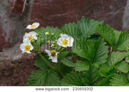 Blooming Strawberries Plants. Strawberry Bush . White Strawberry Flowers. Strawberries In The Garden