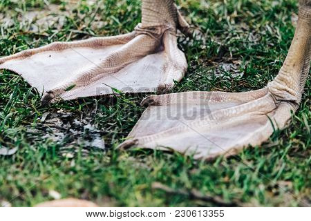 A Pair Of Webbed  Legs Of A Swan