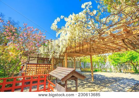 Kamakura, Japan - April 23, 2017: Branches Of Cherry Blossom During Hanami At The Garden Of Hata-age