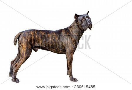 Cane Corso On White.  The Cane Corso On The White Background.