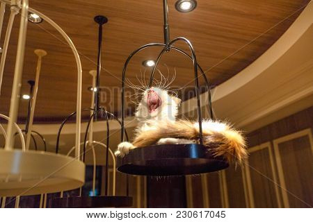 Tokyo, Japan - April 17, 2017: Turkish Angora Cat Lying Down Yawning Inside Of Cat Cafe Mocha In Shi