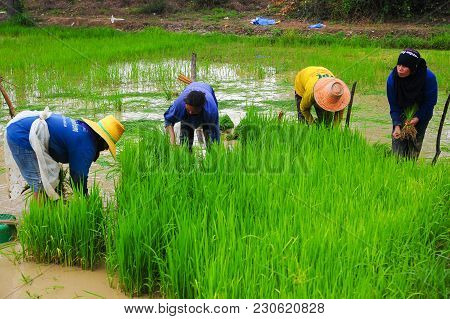 Sukhothai, Thailand - June 5, 2011: Farmers Growing Rice On Farmland In Sukhothai, Thailand