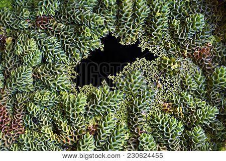 Green Aquatic Plants On The Water Surface. Closeup Top View Photo. Horizontal.