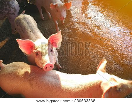 Young Pigs In The Farm, Ping Pig